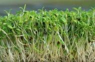 Salmonella Outbreak Prompts Urgent Recall of Alfalfa Sprouts